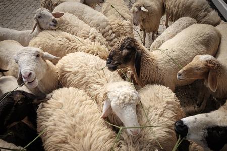 Sheep in barn looking at the camera. Stock Photo
