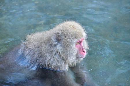 Japanese Macaque Soaking in Hot Springs in Nagano Stock Photo