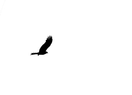 Silhouette of a Lonely Eagle Soaring