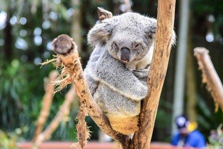drowsy: Drowsy Koala Bear on a Tree Stock Photo