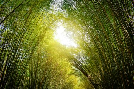green bamboo forest with sunshine, cave bamboo background Archivio Fotografico