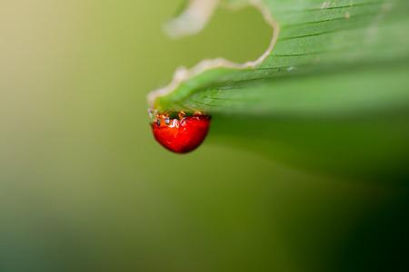 ladybug on leaf: Ladybuy under a green leaf