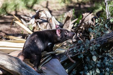taz: A Tasmania devil stand on a log