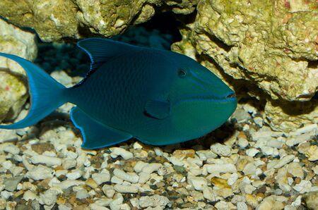 Triggerfish Stock Photo - 6635257