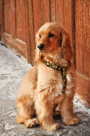 Young english cocker spaniel dog with collar photo