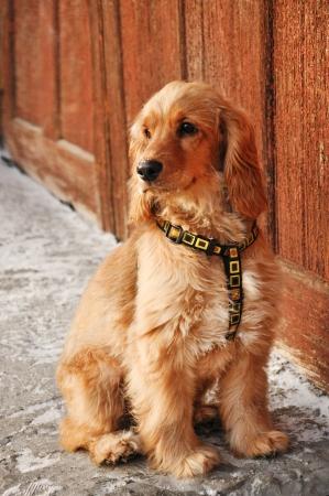 Young english cocker spaniel dog with collar Stock Photo