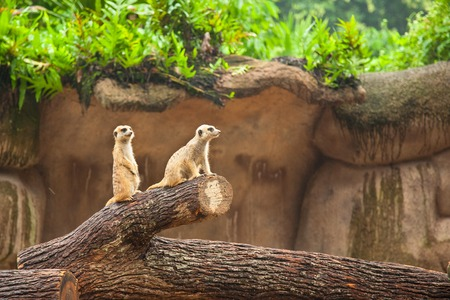 Two meerkats suricate are on guard. Watychin an area.