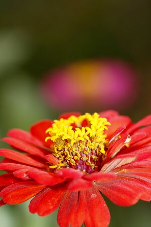 red zinnia in the field