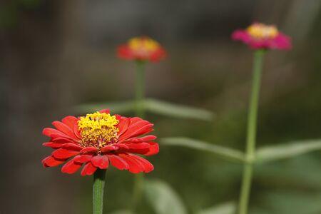 Red zinnia in the garden