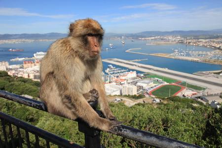 Gibraltar Ape photo