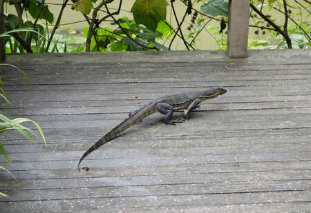 Asian Water Monitor Lizard on the hunt photo
