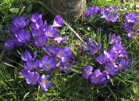 Beautiful Mauve Spring Crocus Flowers under a tree Stock Photo