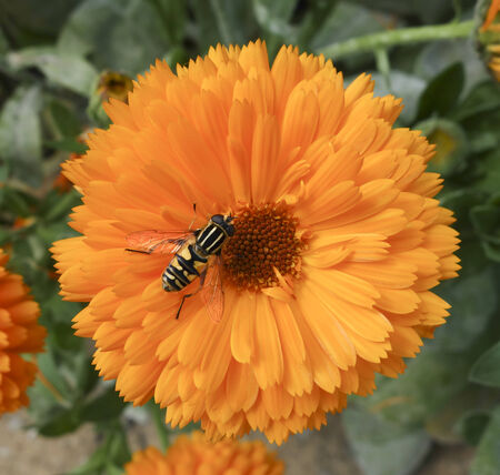 settled: Bee settled on Orange Yellow Flower