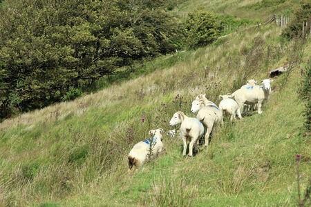 exmoor: Exmoor sheep Devon England Stock Photo