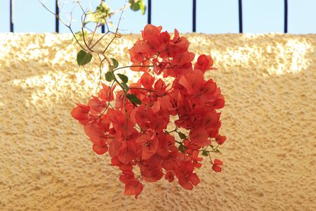Orange Bougainvillea flowers 版權商用圖片