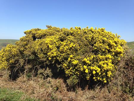 Flowering gorse hedge