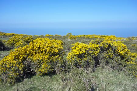 devon: Gorse and Devon coast