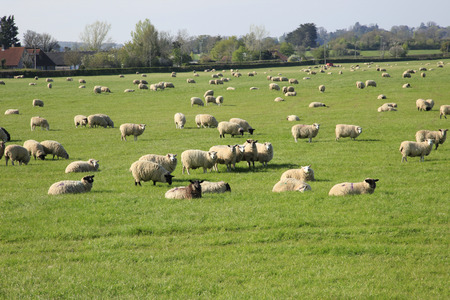 ewes: Sheep and Lambs in a field