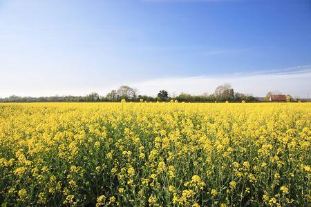 Beautiful rapeseed fields Stock Photo