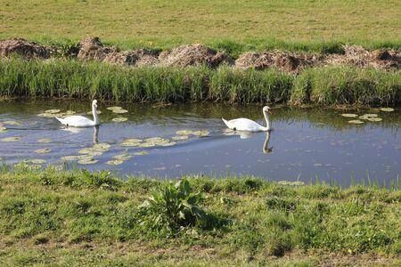 cisnes: Cisnes natación