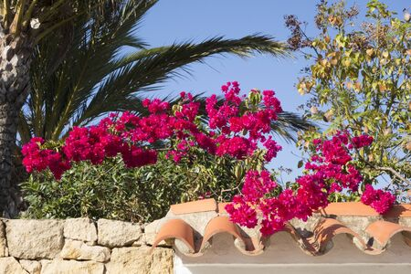 fronds: Red bougainvillea growing on a roof with palm fronds Stock Photo