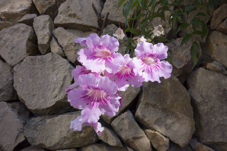rockery: Pink wallflowers in a rockery