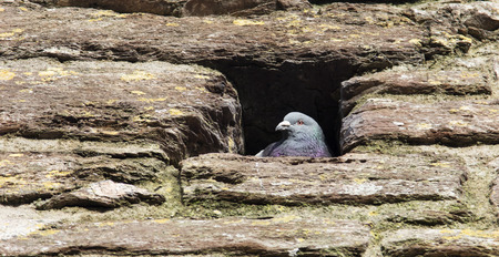 pigeon holes: A pigeon surveys the scene from the safety of its perch in an old castle walls in England