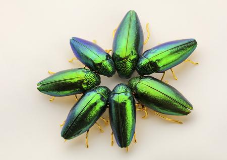 broach: Beautiful metallic emerald green jewel beetles