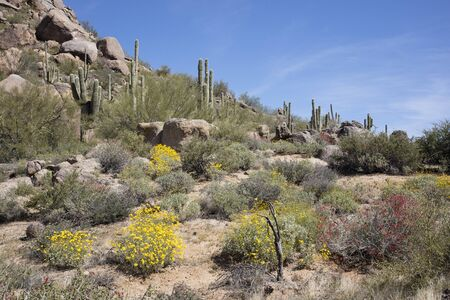 sonoran desert: Desert Spring flowers and Giant thorny Saguaro Cactus in Sonoran Desert of Southwestern USA Stock Photo