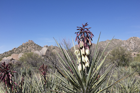 sonoran desert: A Banana Yucca plant flowering in springtime in the Sonoran Desert of the Southwestern USA