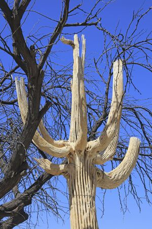 Skeleton remains of a Giant Saguaro Cactus