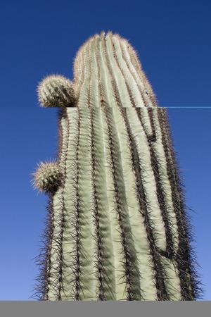 saguaro cactus: Giant thorny Saguaro Cactus in Sonoran Desert of Southwestern USA