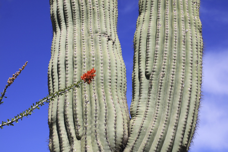 sonoran desert: Giant thorny Saguaro Cactus in Sonoran Desert of Southwestern USA