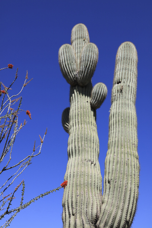 long lived: Giant thorny Saguaro Cactus in Sonoran Desert of Southwestern USA