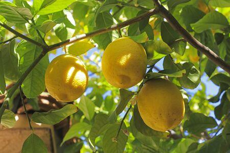 Ripe juicy lemons on the tree
