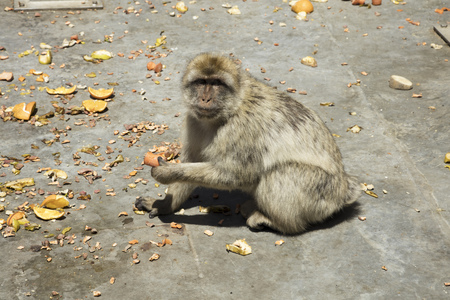 barbary ape: Gibraltar Barbary ape eating fruit and veg