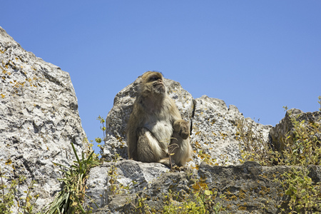 barbary ape: Gibraltar Barbary ape resting at the top of the Rock
