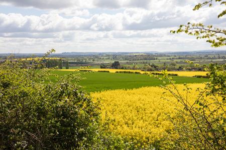 Beautiful yellow flowering rapeseed fields in Somerset England
