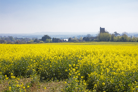 Beautiful yellow flowering rapeseed field in Somerset England