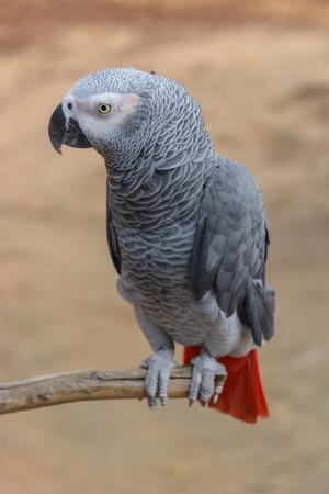 erithacus: African Grey Parrot or Psittacus erithacus  scientific name
