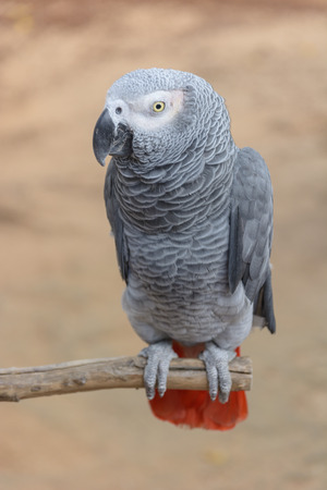 African Grey Parrot or Psittacus erithacus  scientific name   photo