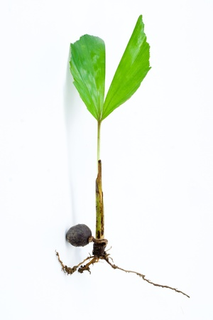 Young palm seedling Stock Photo - 14519283
