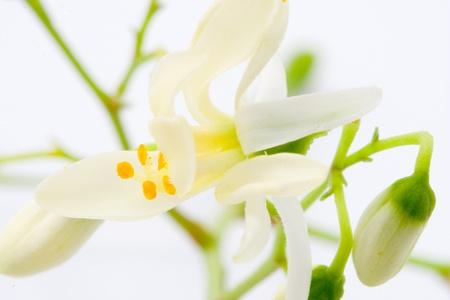 fiori di Moringa su bianco