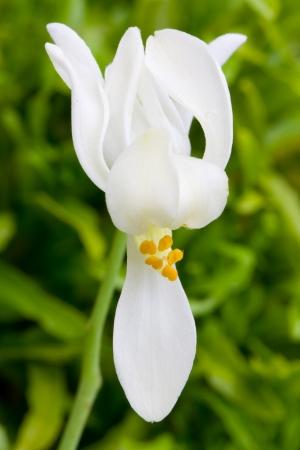flower of Moringa