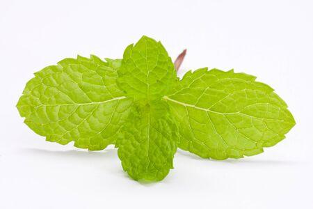 Fresh lemon balm on white background Stock Photo - 14717099