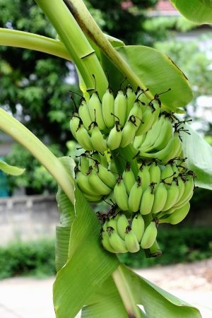 Green banana hanging on a branch of a banana tree Stock Photo - 20819411