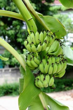 Green banana hanging on a branch of a banana tree Stock Photo - 20819411