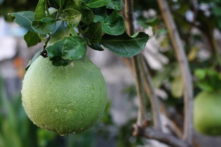 A pomelo fruit in the tree Stock Photo - 20819412