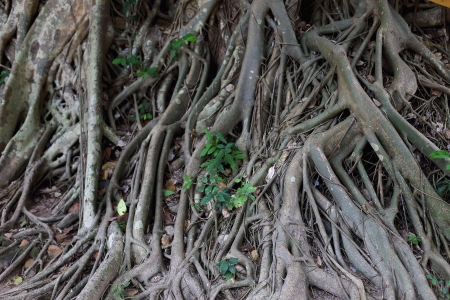 Roots of trees photo