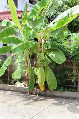 fruiting: Banana trees are fruiting